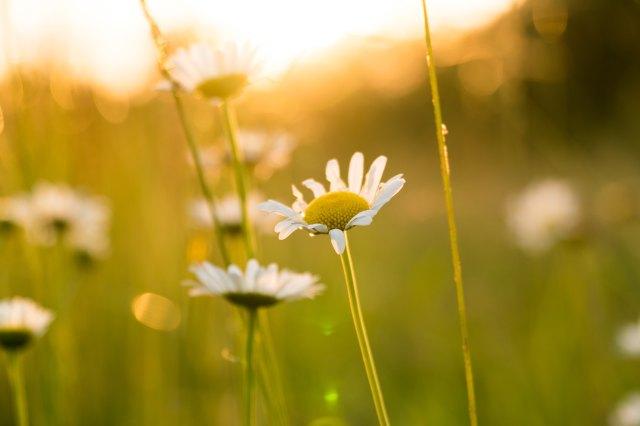 daniel-weiss-daisies